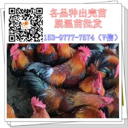 资阳出壳鸡苗生产基地公鸡