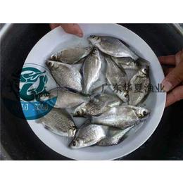 供应广东鲂鱼苗优质高产鲂鱼苗选广东华夏渔业养殖基地全国直销