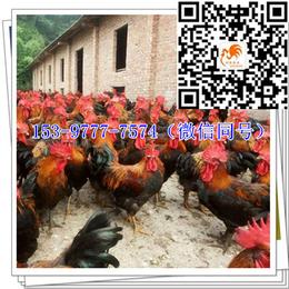 南川鸡苗多少钱孵化厂
