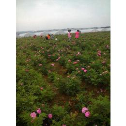 可食用玫瑰苗四季玫瑰食用玫瑰一年生大苗药用玫瑰苗缩略图