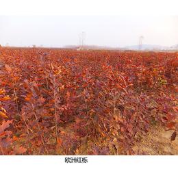 舜枫农林(在线咨询)-欧洲红栎-欧洲红栎小苗