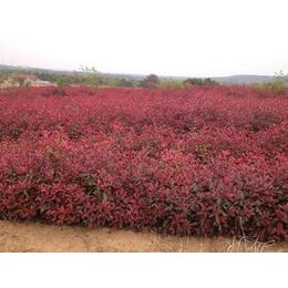 高杆红叶石楠-大地苗圃种植基地-高杆红叶石楠小苗价格