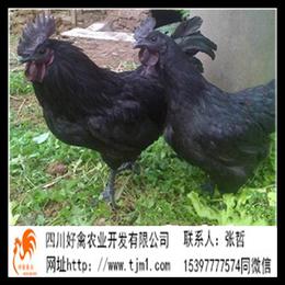 吉林鸡苗批发场厂家大红公鸡