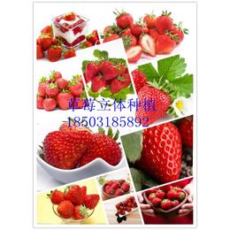 新型草莓栽培模式A草莓立体种植槽A增产增效A量身定制