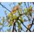 核桃树的雄花什么样子缩略图1
