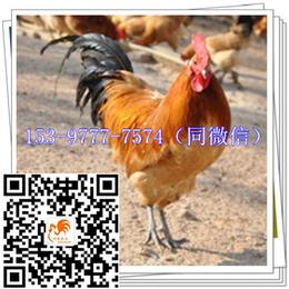 文县鸡苗公司价格土鸡