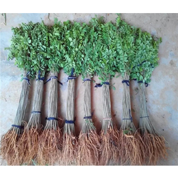 紫穗槐小苗-合绿家庭农场苗子好-高速紫穗槐小苗