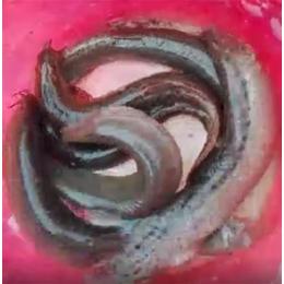泥鳅种苗批发|周口泥鳅种苗|有良泥鳅养殖基地(查看)