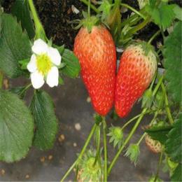 双湖园艺(多图),求购草莓苗,铜陵草莓苗