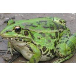 明嘉农业生态黑斑蛙蛋白质含量高具有清热解毒消肿止痛的功效缩略图