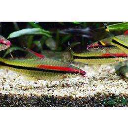 中国观赏鱼,庆祥伟业观赏鱼(在线咨询)