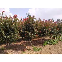 8公分红叶石楠多少钱,红叶石楠,大地苗圃批发直销(查看)
