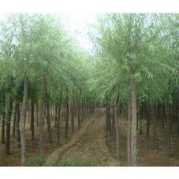 求购金叶丝棉木价格|金叶丝棉木|富润种植基地批发(查看)