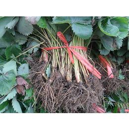九九草莓苗基地、九九草莓苗、双湖园艺(在线咨询)