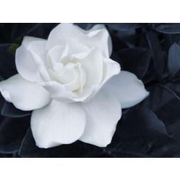 花卉苗床种植栀子花-滑动式苗床生产厂家