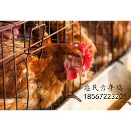 鹤壁海兰褐蛋鸡青年鸡养殖基地 海兰褐蛋鸡青年鸡利用年限