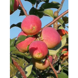 供应吉林牛奶果苗有牛奶果香味果重150克嫁接苹果苗新品种