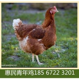 惠民青年鸡海兰褐蛋鸡产蛋率 濮阳海兰褐蛋鸡青年鸡成本