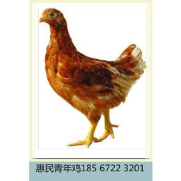 60天罗曼灰青年鸡厂家批发