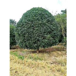 桂花树的品种-【长林农场】质优价廉-义乌桂花树