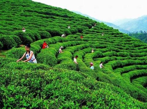 你知道的婺源绿茶有什么特色?