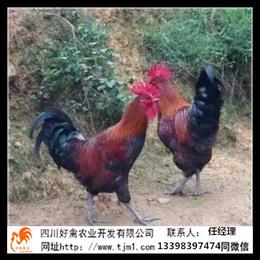 藤县血毛土鸡苗公司养殖批发