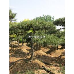 苏家苗圃(在线咨询)-造型黑松