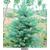 舜枫农林(在线咨询)-美国蓝杉-美国蓝杉前景缩略图1