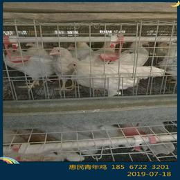 漯河罗曼灰蛋鸡青年鸡全自动养殖基地 漯河罗曼灰青年鸡