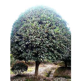 【长林农场】信誉保证(图)-桂花树市场-金华桂花树