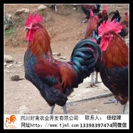 德阳罗江青脚麻土鸡苗厂家销售供应