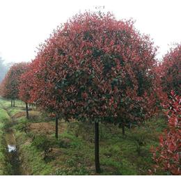 高杆红叶石楠-大地苗圃种植基地-高杆红叶石楠怎么卖
