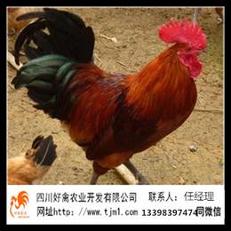 广安华蓥青脚麻土鸡苗养殖技术哪里有