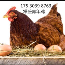 依莎褐青年鸡报价辽宁依莎褐青年鸡报价辽宁60日龄依莎褐价格