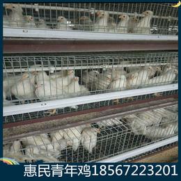 江西罗曼粉蛋鸡青年鸡 池州60日龄罗曼粉青年鸡养殖场直供